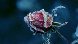 apserksnines-rozes-ziedas