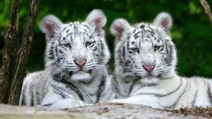 baltieji tigrai