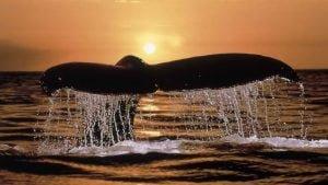 banginio uodega