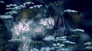 kmynu ziedai