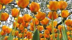 oranzines-tulpes