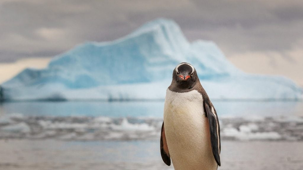 pingvino-zvilgsnis