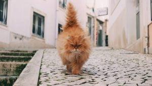 pukuotas-ryzas-katinas