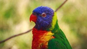 spalvota papuga