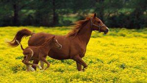 du-zirgai
