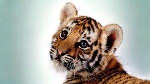 mielas-leopardas