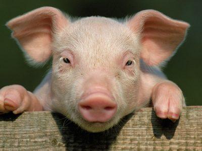 Nemokink kiaulės dainuoti