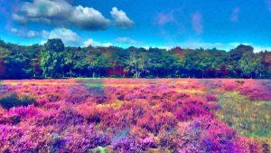 spalvotas-levandu-laukas