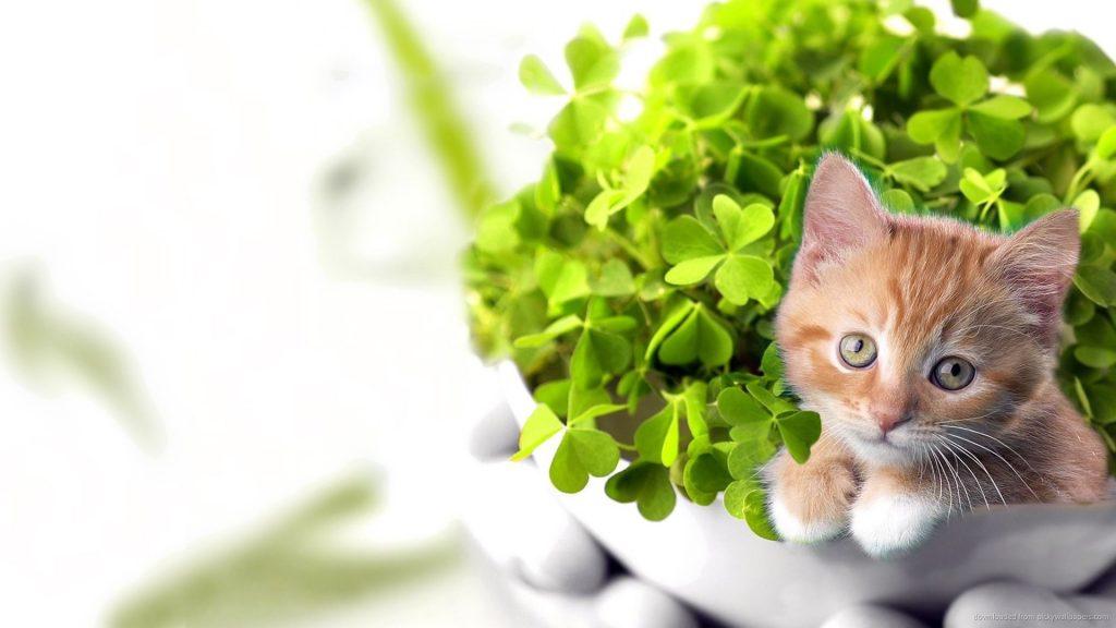 katinas dobiluose