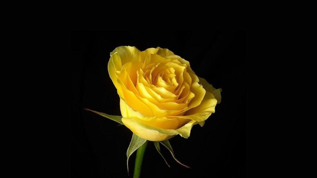 geltona roze
