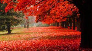 raudonas medis