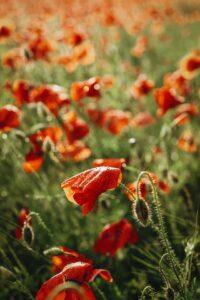 raudoni aguonu ziedai